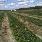 Field were we picked our veggies and fruit (campo en donde fuimos a comprar los vegetales y frutas)